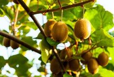 Zakończenie dojrzała kiwi owoc na krzakach Włochy agritourism Fotografia Royalty Free