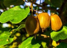 Zakończenie dojrzała kiwi owoc na krzakach Włochy agritourism Zdjęcie Royalty Free