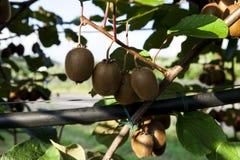 Zakończenie dojrzała kiwi owoc na krzakach Włochy agritourism Obraz Royalty Free