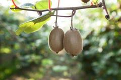 Zakończenie dojrzała kiwi owoc na krzakach Włochy agritourism Obrazy Stock