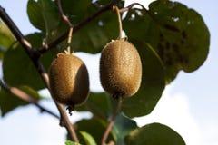 Zakończenie dojrzała kiwi owoc na krzakach Włochy agritourism Zdjęcia Stock