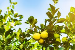 Zakończenie dojrzały kolor żółty i niedojrzałe zielone cytryny na drzewie przeciw niebieskiemu niebu obrazy royalty free