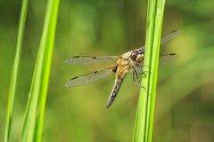 Zakończenie dostrzegający łowcy dragonfly insekt, Libellula qu obraz stock