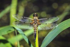 Zakończenie dostrzegający łowcy dragonfly insekt, Libellula qu obrazy stock