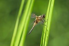 Zakończenie dostrzegający łowcy dragonfly insekt, Libellula qu fotografia stock