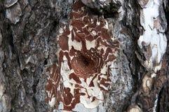 Zakończenie drzewna barkentyna z kępką Obrazy Royalty Free
