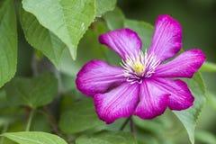 Zakończenie duże piękne jaskrawe purpury w pełni kwitnie kwiatu li Obraz Stock
