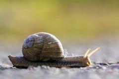 Zakończenie duży ziemny ślimaczek z brown skorupą wolno czołgać się na jaskrawym zamazanym tle Use mollusks jako jedzenie i damag fotografia stock
