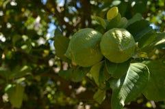 Zakończenie Dwa Zielonej cytryny, natura, Sicily fotografia stock
