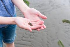 Zakończenie dziewczyny ` s wręcza trzymać małego zielonego kraba podczas gdy stojący na plaży przy niskim przypływem obraz stock