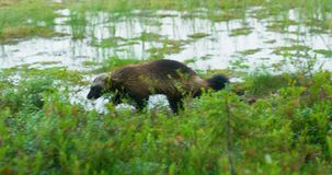 Zakończenie dziki rosomakowy odprowadzenie uwalnia w lesie zbiory wideo