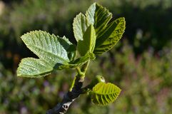Zakończenie figa liście, natura obrazy royalty free