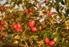 Zakończenie fotografia czerwony owoc rosehip między zielonymi liśćmi, z zdjęcie royalty free