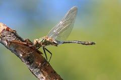 Zakończenie fotografia dragonfly obsiadanie na gałąź z błękitem zielenieć zamazanego tło fotografia stock