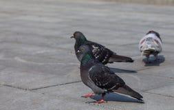 Zakończenie fotografia gołębie na alei Miasto gołąbka Ptak serie Zdjęcie Stock
