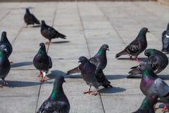 Zakończenie fotografia gołębie na alei Miasto gołąbka Ptak serie Obrazy Stock