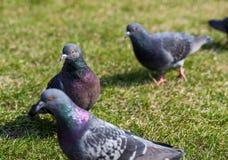 Zakończenie fotografia gołębie na alei Nurkujący nad trawą Gołębie w mieście Ptak serie Obrazy Royalty Free