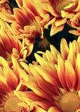 Zakończenie fotografia słonecznikowy kwiat Obrazy Royalty Free