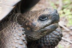 Zakończenie głowa Galapagos tortoise Fotografia Stock
