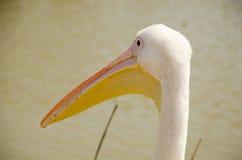 Zakończenie głowa z wielkim belfra pelikanem Obrazy Stock