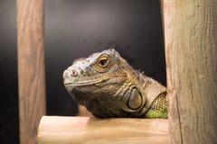 Zakończenie głowa Zielona iguana fotografia stock