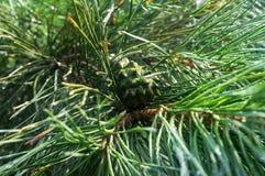 Zakończenie gałąź iglasty drzewo po deszczu zdjęcie stock