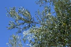 Zakończenie gałązka oliwna, Sicily, Włochy, Europa, natura fotografia stock