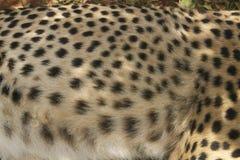 Zakończenie gepard w zwierzęcej łatwości Nairobia, Kenja, Afryka przy KWS Kenja przyrody usługa Fotografia Stock