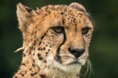 Zakończenie geparda portret z zieleni zamazanym tłem zdjęcie stock