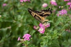Zakończenie giganta Swallowtail motyl na Różowym Lantana obraz stock