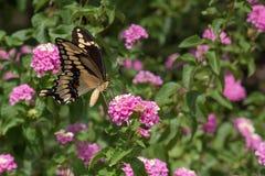 Zakończenie giganta Swallowtail motyl Wśród Różowego Żółtego Lantana obraz royalty free