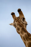Zakończenie Giraffe's głowa, Tylny widok, Południowa Afryka Fotografia Stock