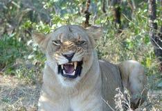 Zakończenie gniewny lew z fletching zębami obraz royalty free