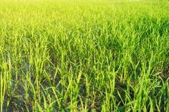 Zakończenie greenfield i ryż rozsady - up obraz royalty free