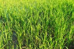 Zakończenie greenfield i ryż rozsady - up fotografia stock