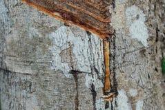 Zakończenie gumowy lateks wydobujący od gumowego drzewa Zdjęcie Royalty Free