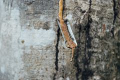 Zakończenie gumowy lateks wydobujący od gumowego drzewa Zdjęcie Stock