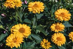 Zakończenie jaskrawy kolor żółty up kwitnie w ogródzie obraz stock
