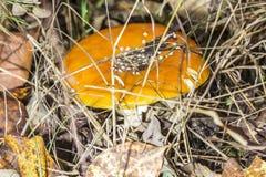 Zakończenie jeden czerwieni pieczarka wśród zielonej trawy w jesieni Amanita lasowym muscaria, znać jako komarnicy bedłka lub, je Zdjęcia Royalty Free