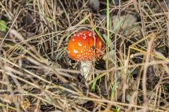 Zakończenie jeden czerwieni pieczarka wśród zielonej trawy w jesieni Amanita lasowym muscaria, znać jako komarnicy bedłka lub, je Zdjęcie Royalty Free