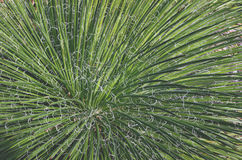 Zakończenie kędzierzawi biali włókna agawy filifera up opuszcza Obraz Stock