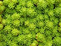 Zakończenie klomb zielony Hiszpański stonecrop, Sedum hispanicum, błyszczy w ranku świetle słonecznym Zdjęcia Stock