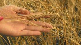 Zakończenie kobiety ` s ręki bieg przez pszenicznego pola, dolly strzał zbiory wideo