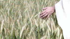 Zakończenie kobiety ` s ręki bieg przez pszenicznego pola, dolly strzał Filmujący w 4K Dziewczyny ` s ręki ucho wzruszający pszen zbiory