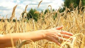 Zakończenie kobiety ` s ręki bieg przez złotego pszenicznego pola Dziewczyny ` s ręki wzruszający pszeniczny zbliżenie swobodny r zbiory wideo