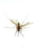 Zakończenie komar odizolowywający na białym tle obrazy stock