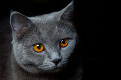 Kota portret na czerni Fotografia Royalty Free