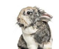 Zakończenie królik, odizolowywający zdjęcia stock