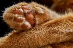 Zakończenie krzyżować łapy sypialny czerwony włosiany kot Zdjęcia Stock