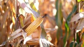 Zakończenie, kukurydzana lala w świetle słonecznym Kukurydzane uprawy na wysuszonych kukurydzanych drzewach są szybkie zbierać wy zbiory